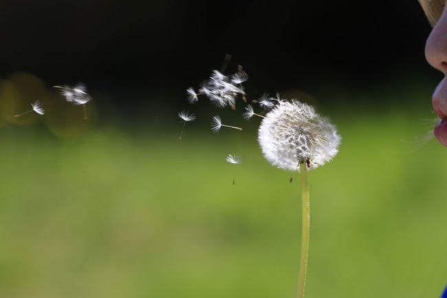 Dandelion Spring Make A Wish !