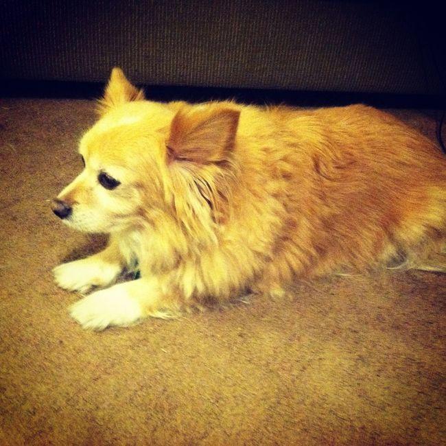 Dog Man's Best Friend My Loyal Companion <3 Chiuahua