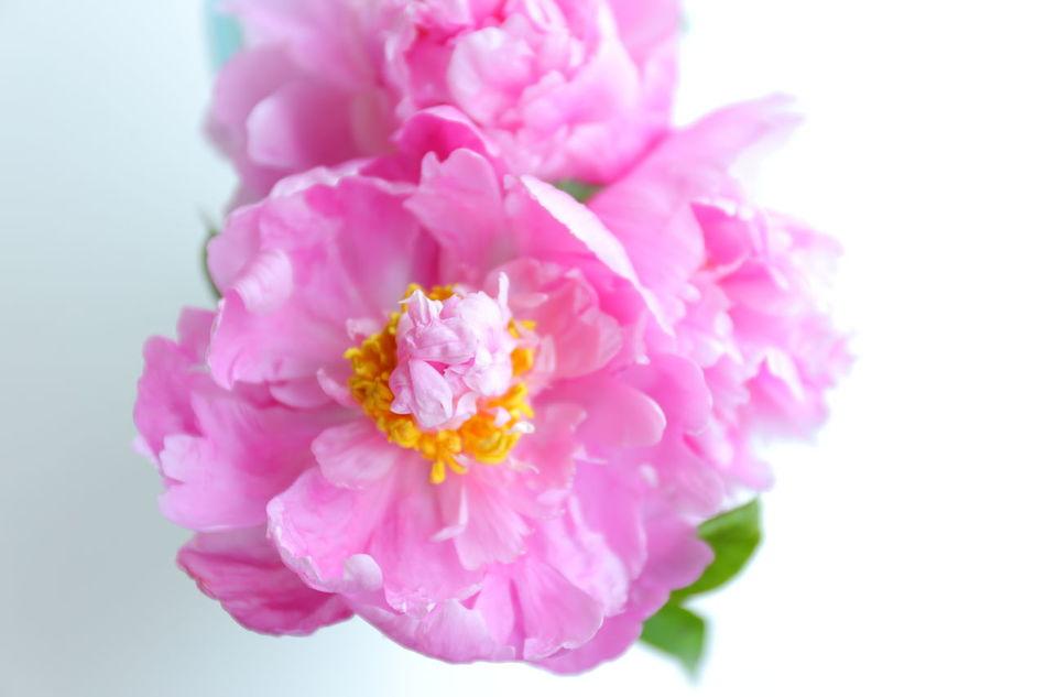 Peony  シャクヤク 芍薬 Flowers,Plants & Garden Flower