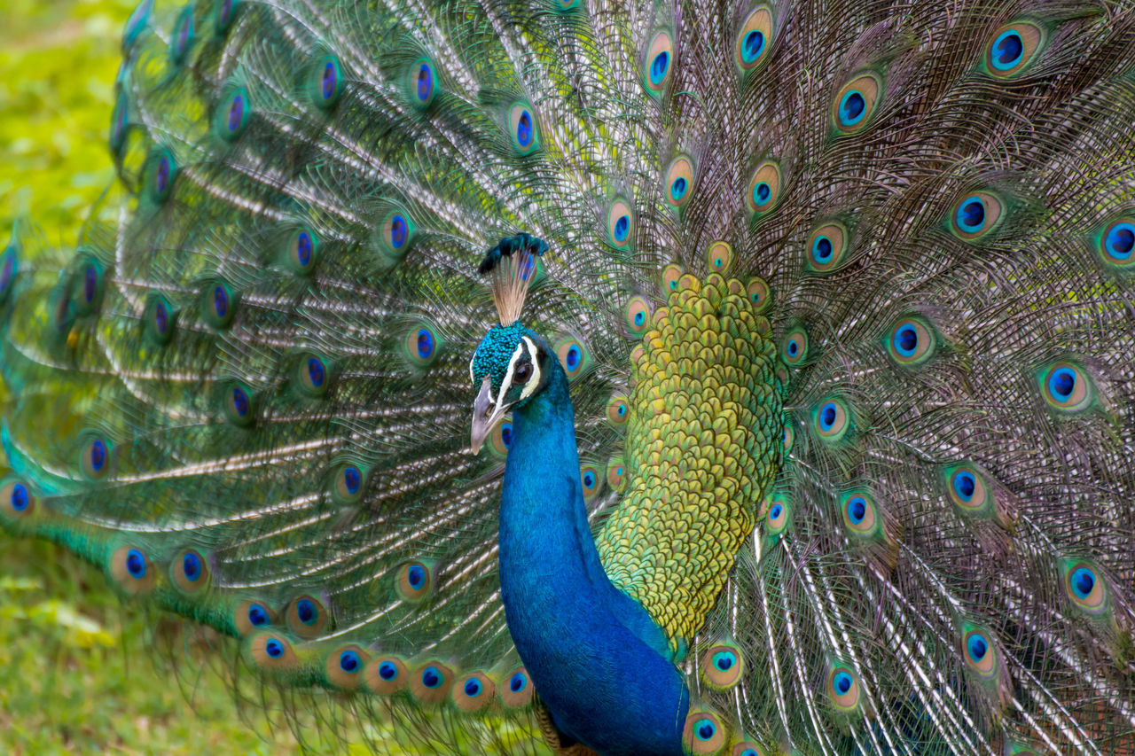 Animal Themes Animal Wildlife Animals In The Wild Beak Beauty Beauty In Nature Bird Blue Close Up Close-up Day Detail Face Fanned Out Feather  Multi Colored Nature No People One Animal Outdoors Peacock Peacock Feather Portrait Spread Wings Sri Lanka