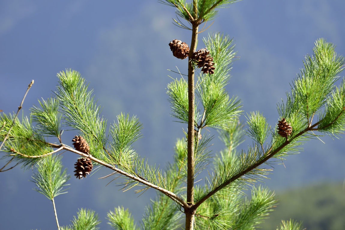 Await Beauty In Nature Blue Branch Day Firmly Fruit Green Growth Hope Low Angle View Modeling Nature Needle No People Outdoors Pinaceae Pine Pine Cone Pine Nuts Pine Tree Seed Sky Tree
