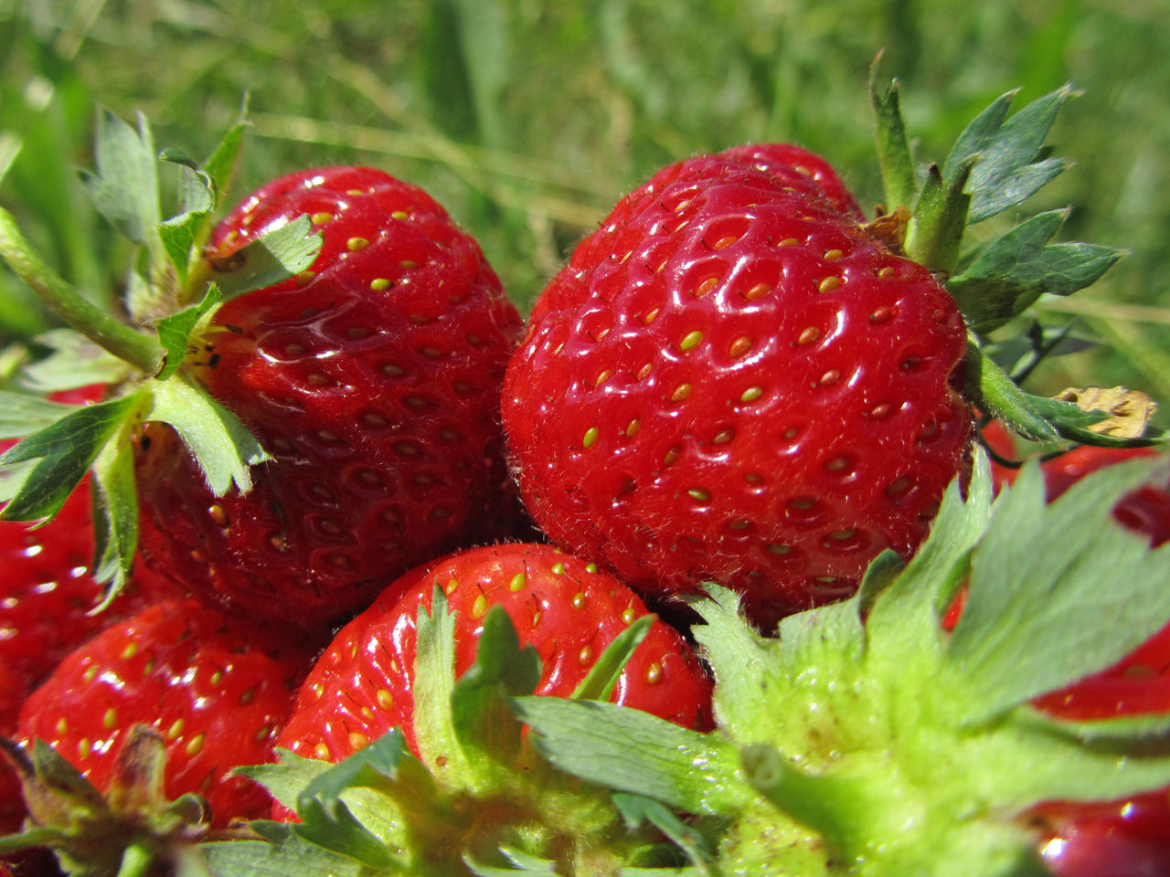 Strawberries. This picture is old and I have shared this on several sites. Red Freshness Fruit Healthy Eating Close-up Food Nature Outdoors Day Strawberries Agriculture Summer Growth Fresh Strawberries Sweet Garden Best Things In Life Are Free Best Sweet Warmness