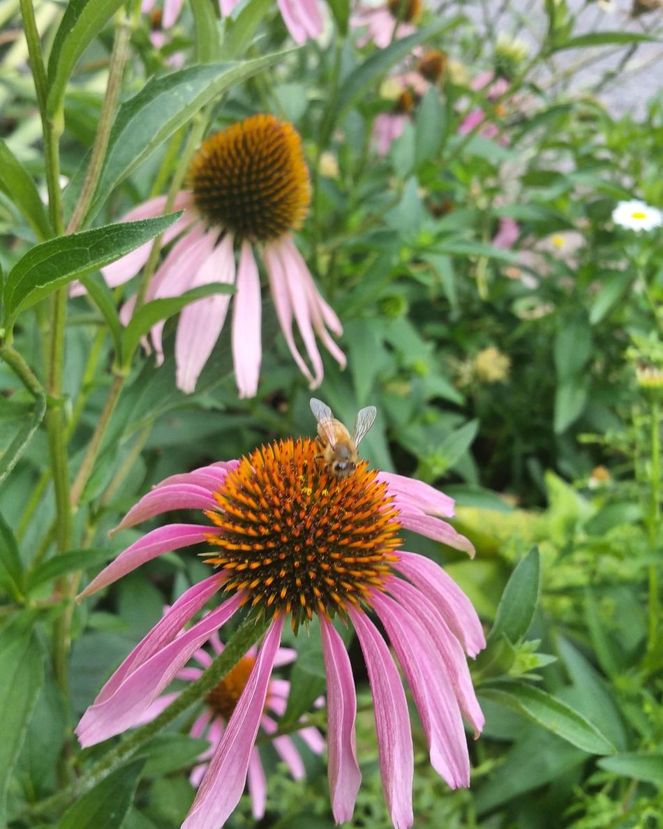HONEY BEE AND CONEFLOWER Check This Out