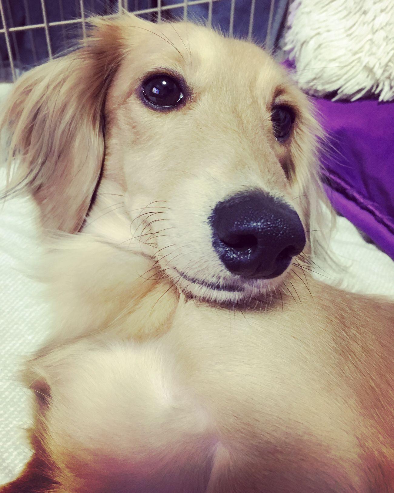 Freeeed🐶 Dachshund Perro Dog Salchichas