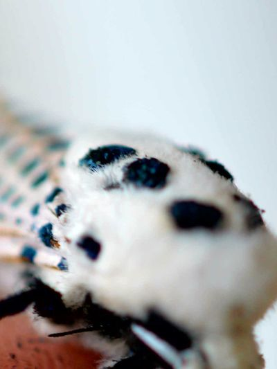 Close-up One Animal Animal Themes Indoors  Insect Giant Leopard Moth