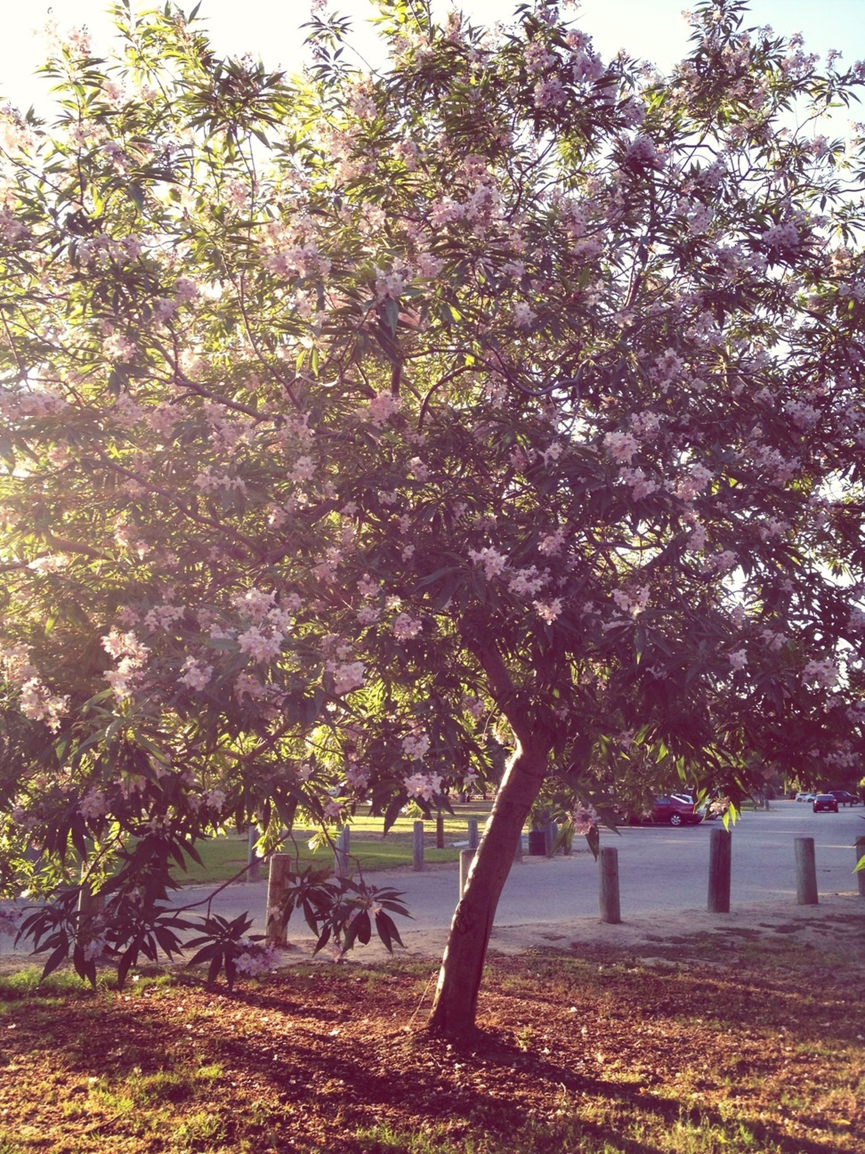 tree, growth, flower, beauty in nature, nature, tranquility, autumn, branch, park - man made space, tranquil scene, change, scenics, season, sunlight, day, field, park, blossom, freshness, outdoors