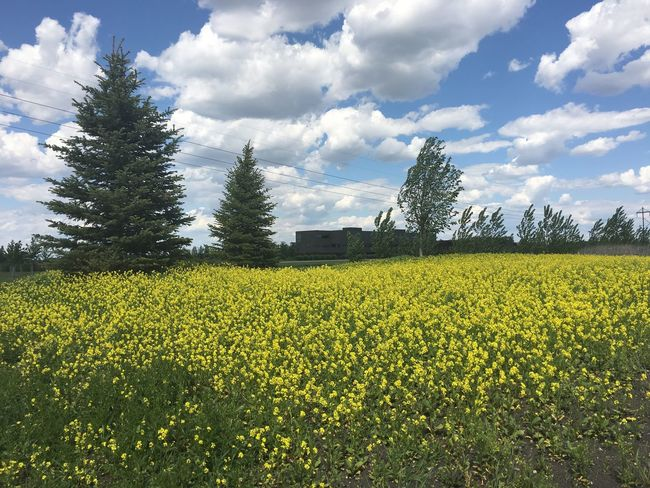 June 5, 2016 / Fargo, North Dakota Agriculture Beauty In Nature Cloud Cloud - Sky Crop  Day Fargo Field Flower Growth Landscape Nature No People North Dakota Outdoors Plant Rural Scene Scenics Sky South Fargo Spring Tranquil Scene Tranquility Tree Yellow