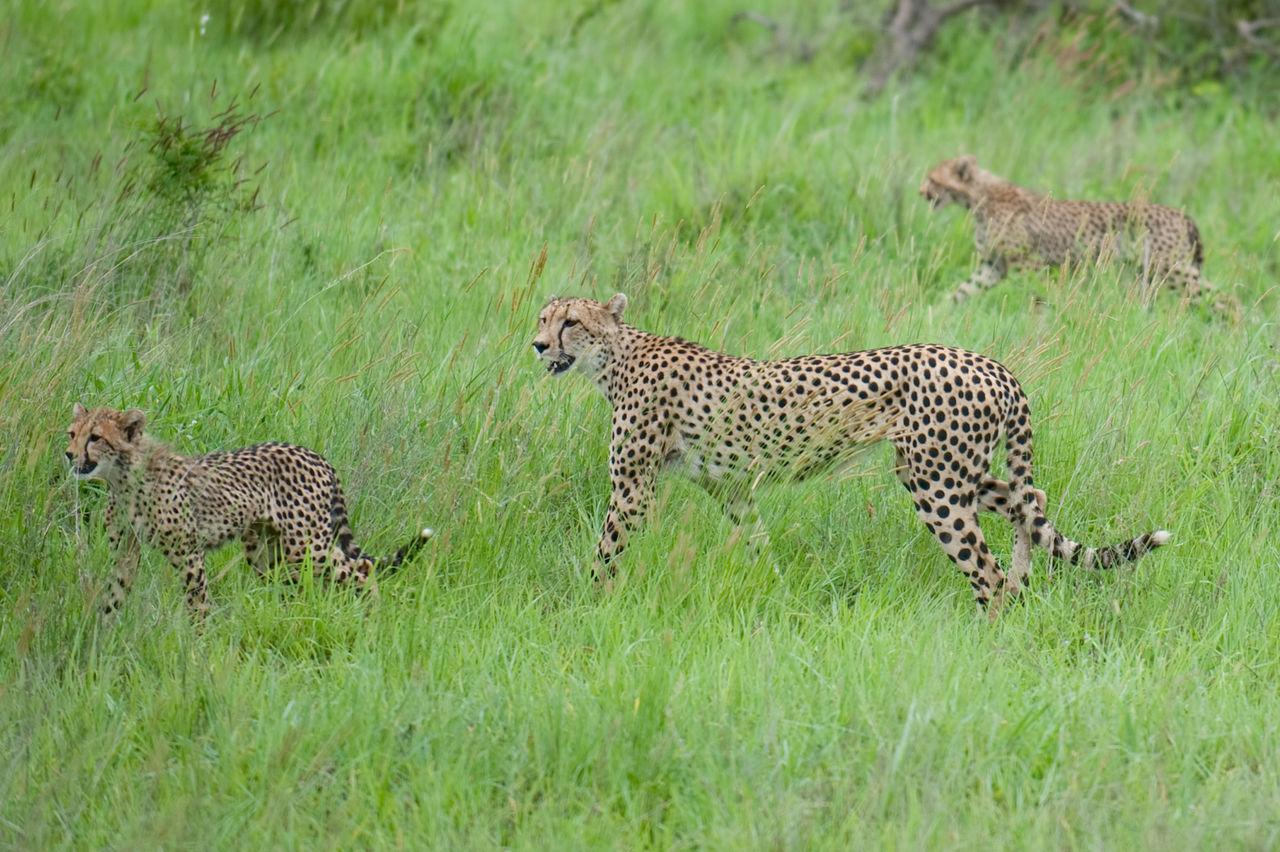 Beautiful stock photos of jungle, Animal, Cheetah, Environment, Exotic