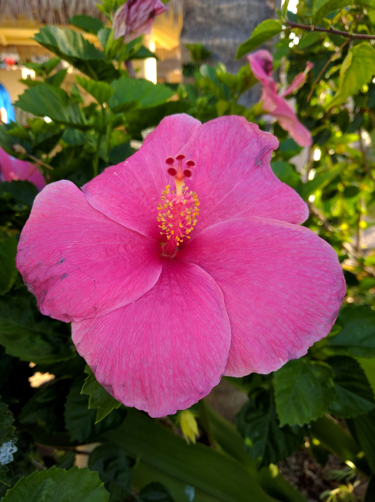 gorgeous pink hibiscus Flower Pink Color Beauty In Nature Single Flower Flowers,Plants & Garden EyeEm Nature Lover Tropical Beauty No People Beauty In Nature Flowers_collection Eyeemphotography Flower Collection Mobile Photography Hibiscus 🌺 Flowers EyeEm Gallery Green Color Nature