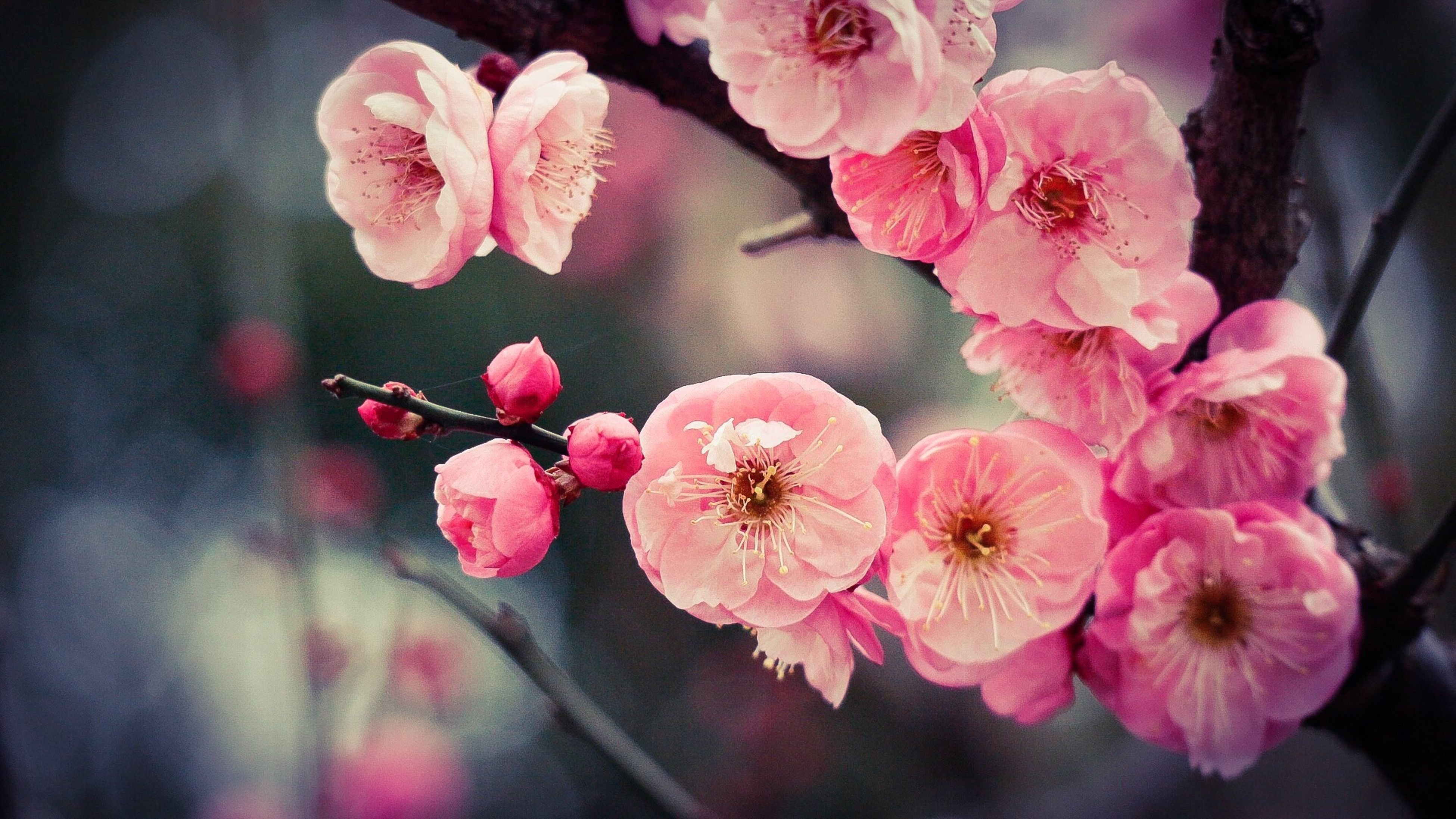 flower, nature, freshness, fragility, beauty in nature, pink color, growth, petal, flower head, close-up, plant, no people, outdoors, day, plum blossom