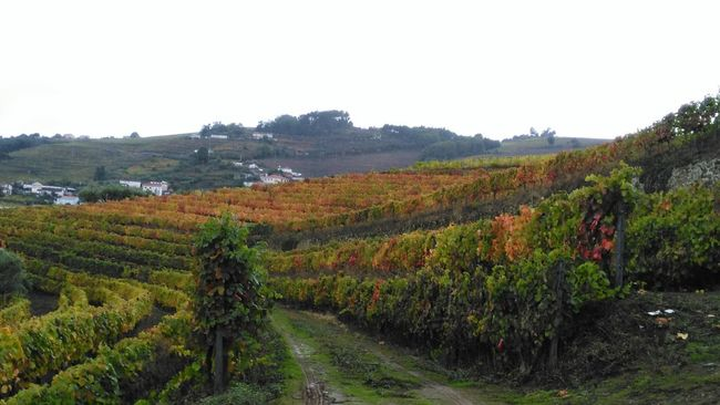 Agriculture No People Green Color Vineyard Perspective Rural Scene Douro  Beauty In Nature Outumncolors Outumn