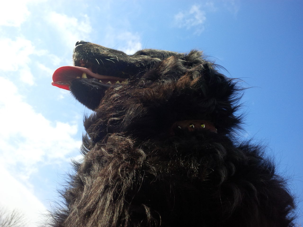 Day Sky Cloud - Sky One Animal Animal Themes Close-up Outdoors Dogs Of EyeEm Newfoundland Newfie Tounge Out  Pet Photography  Domestic Dog