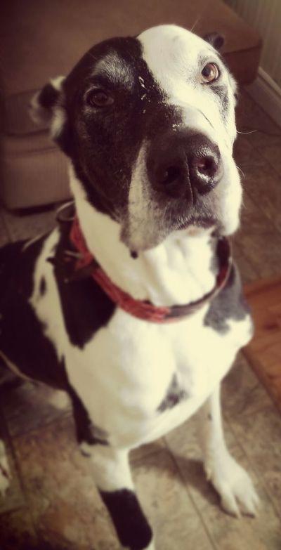 Pets Dog❤ Great Dane Mygreatdane No People Lovethatface One Animal Domestic Animals