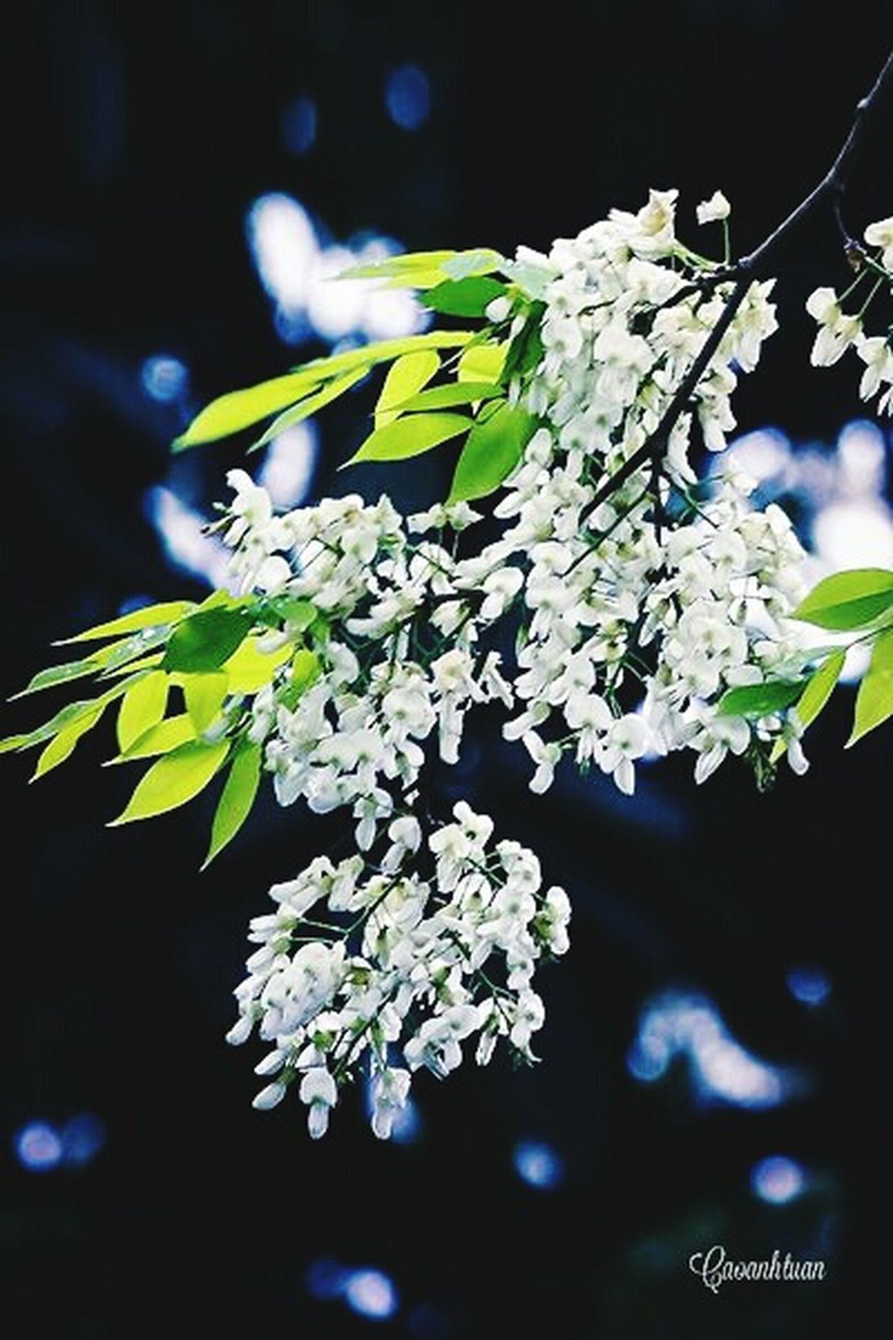 Hoa sưa - Hà Nội
