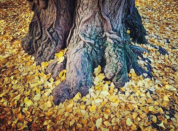 Et toutes ces feuilles jaunes partout qui me rappellent mes origines... Photodasiatique Autumn Sympatoche Jaimelesarbres Yellow