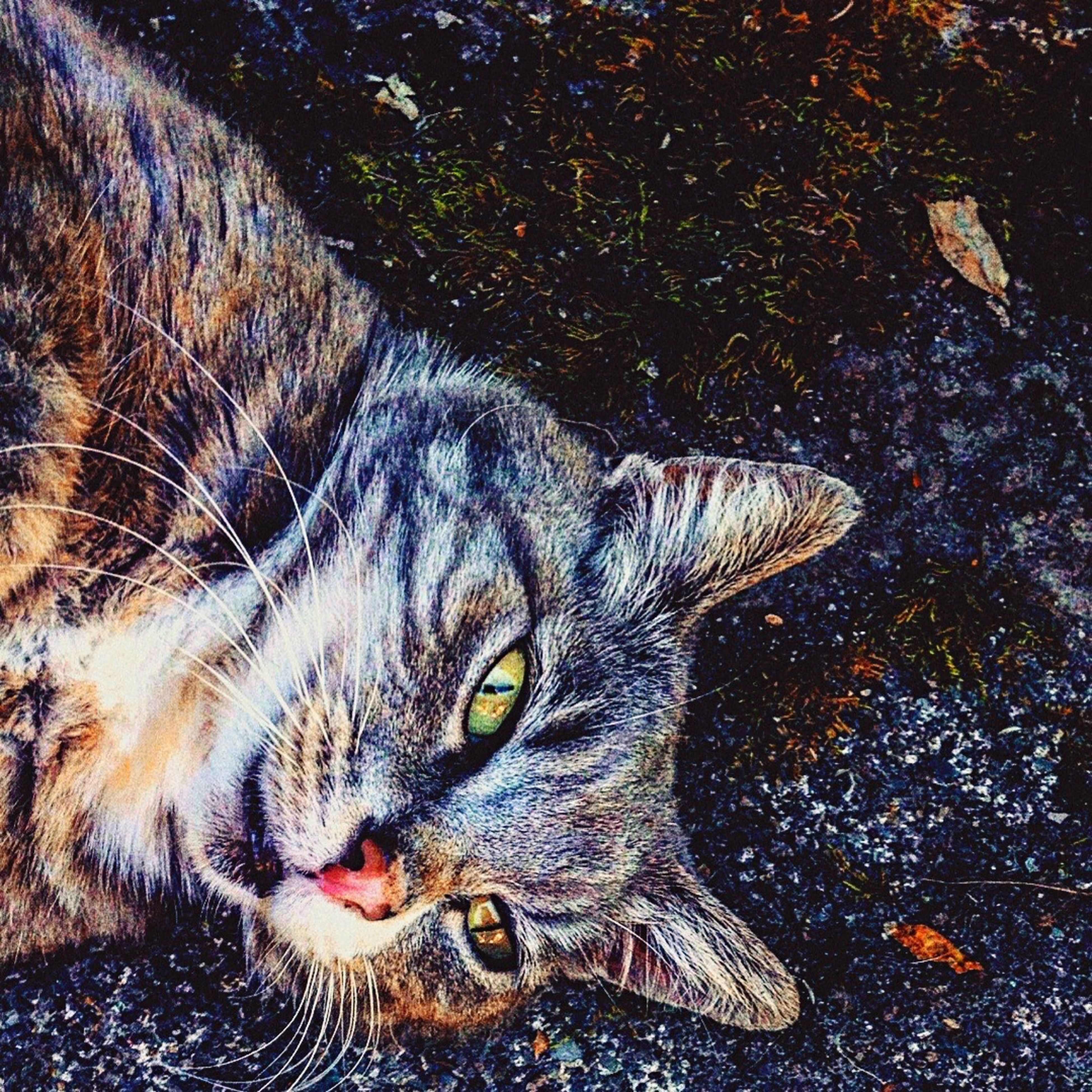 animal themes, one animal, domestic cat, domestic animals, pets, mammal, feline, high angle view, whisker, no people, outdoors, lying down, day, portrait, close-up, nature