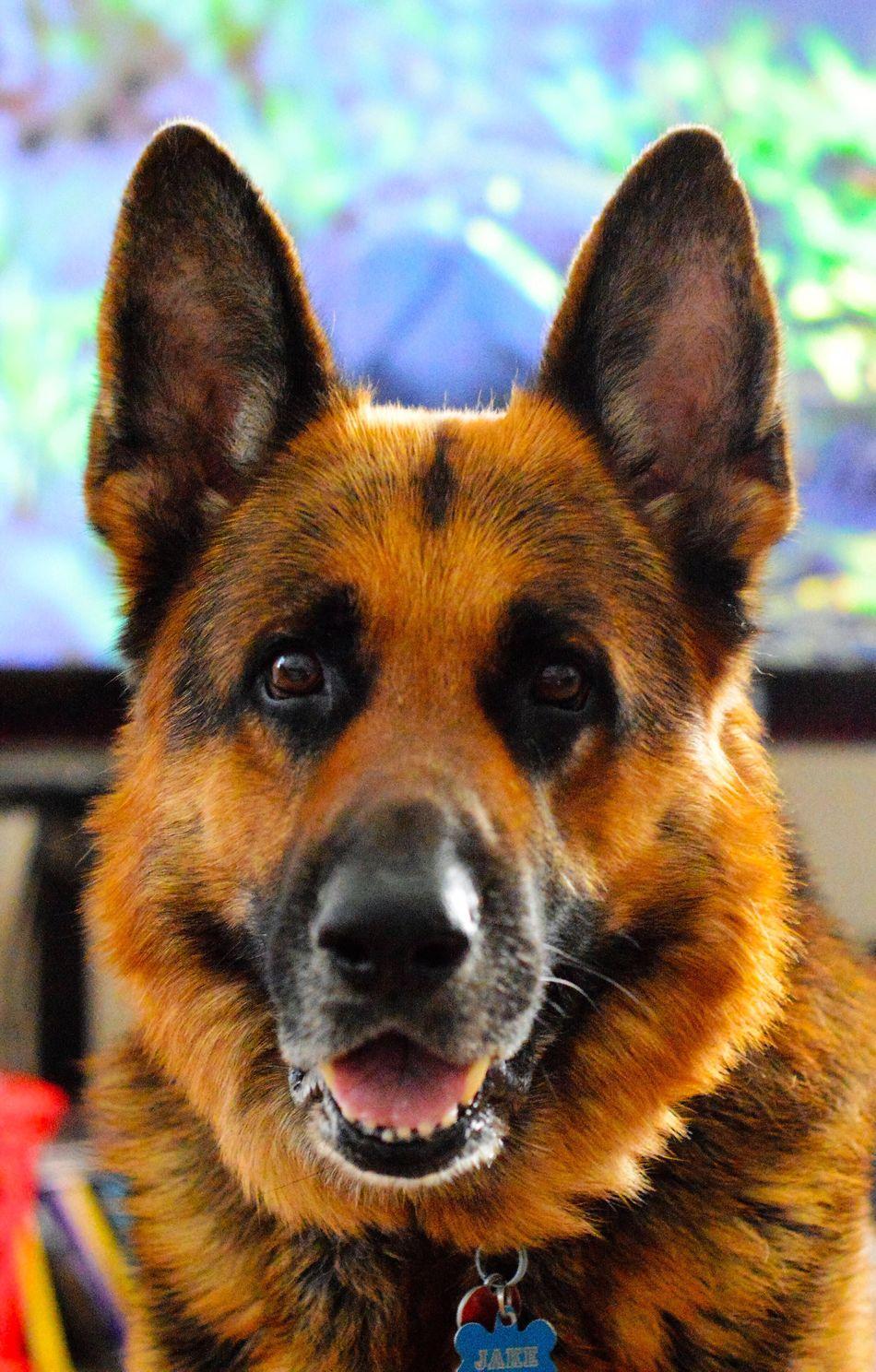 portrait of my dog, jacob German Shepherd Akc Jacob Pet Pet Photography  Pet Portrait Dog Dogs