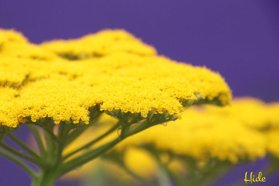 富良野 ファーム冨田 花 Flowers ラベンダー Lavender ヤロウ