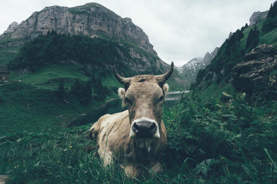 Beautiful stock photos of kühe, Lake, agriculture, animal Head, animal Nose