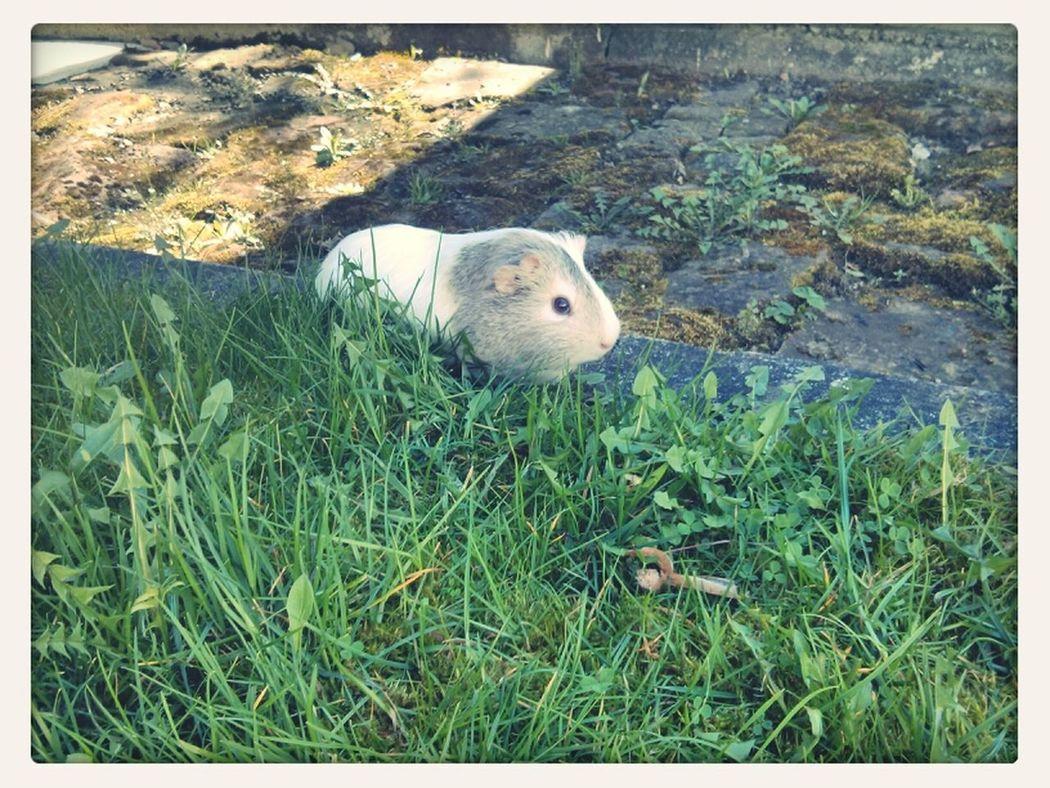 Everyone loves summer Summer Guinea Pig