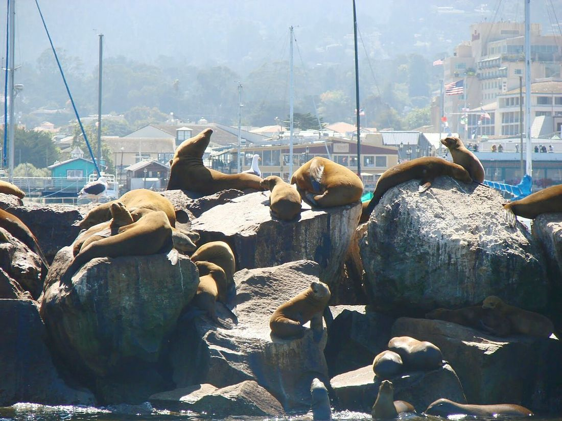 Large Group Of Animals Sea Animal Themes No People Mammal Day Outdoors Seals Seals Chilling Seals On The Dock Seals In The Suns Sea Lions Animals In The Wild Animals