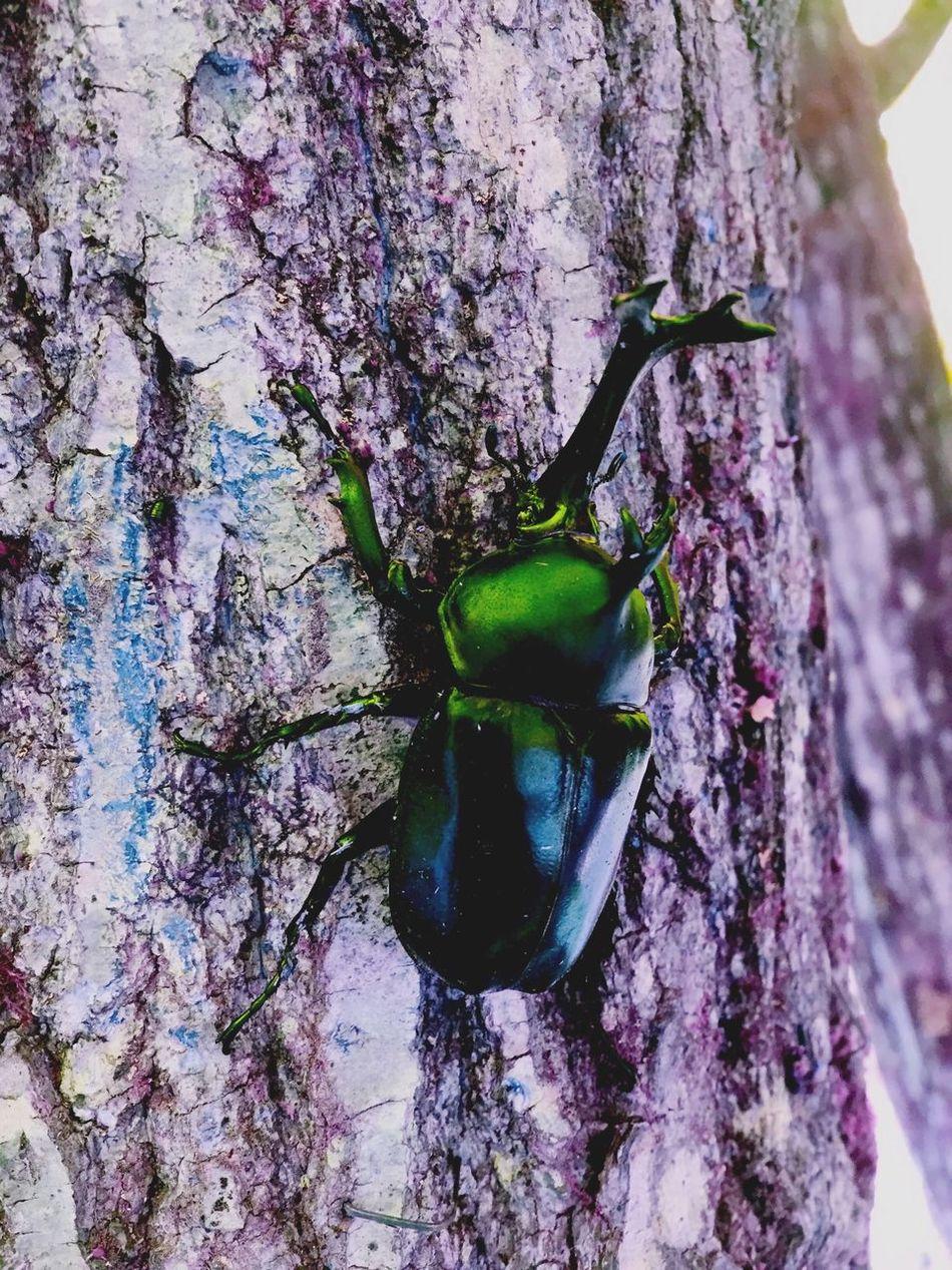 虫 カブト虫 Tree Beetle