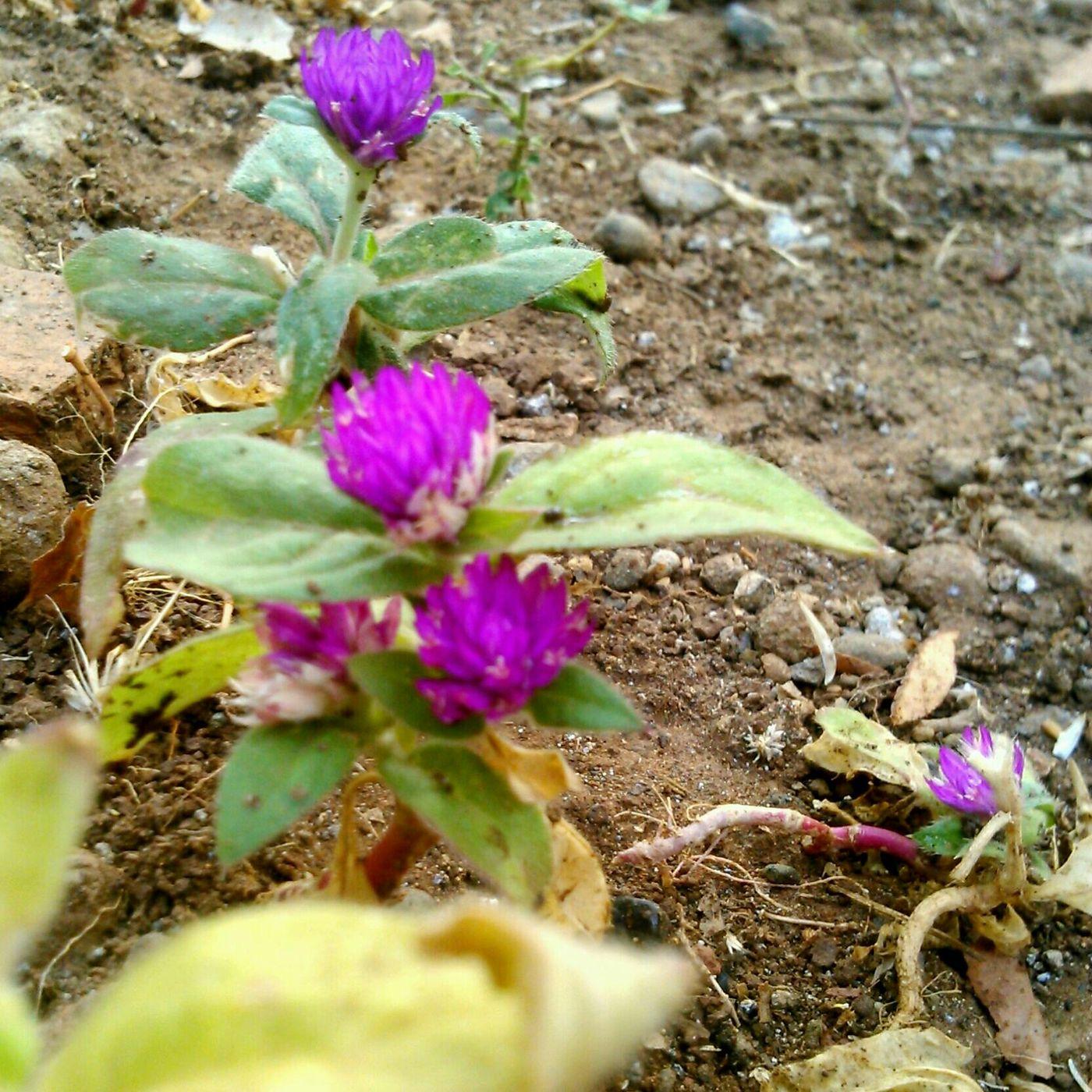 Bunga udel-udelan di pagi hari. Flowers Latepost Sony Xperia Photography. EyeEm Indonesia #nofilter
