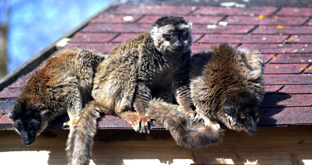 Animal Hair Black Color Brown Lemurs Close-up Common Brown Lemur Day Focus On Foreground Lemurs Mammal Nature No People On The Roof On The Rooftop Outdoors Young Animal