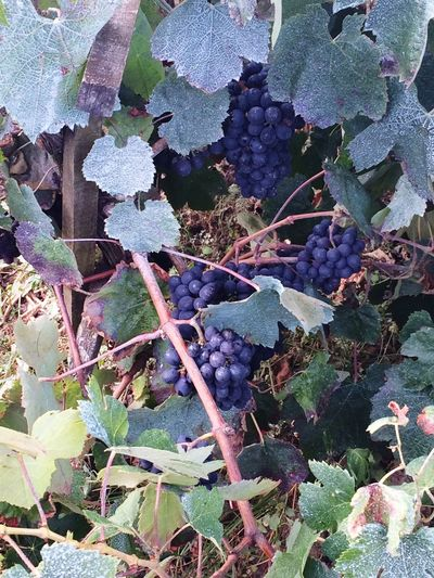 ProCamera - Shots Of The Year 2014 wine grapes growing in the backyard