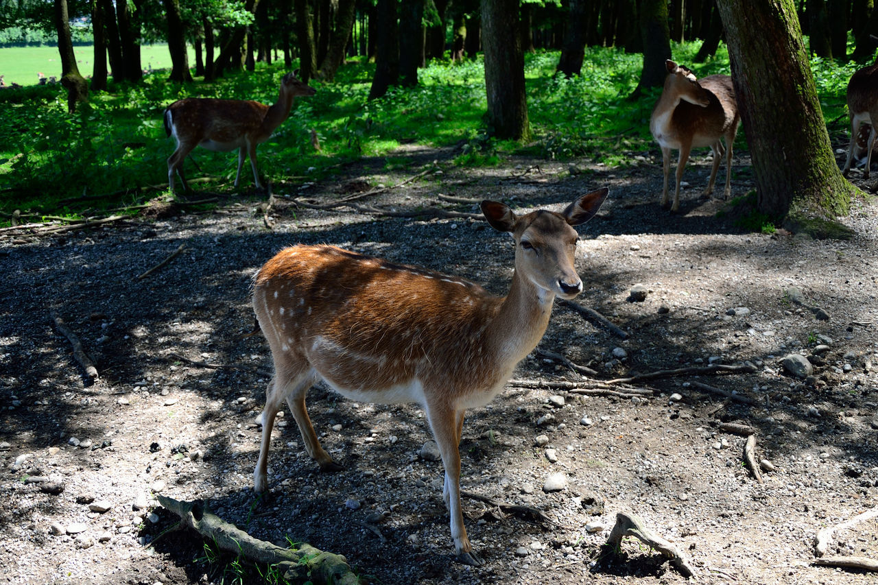animal themes, animals in the wild, deer, animal wildlife, day, field, mammal, nature, no people, outdoors, tree