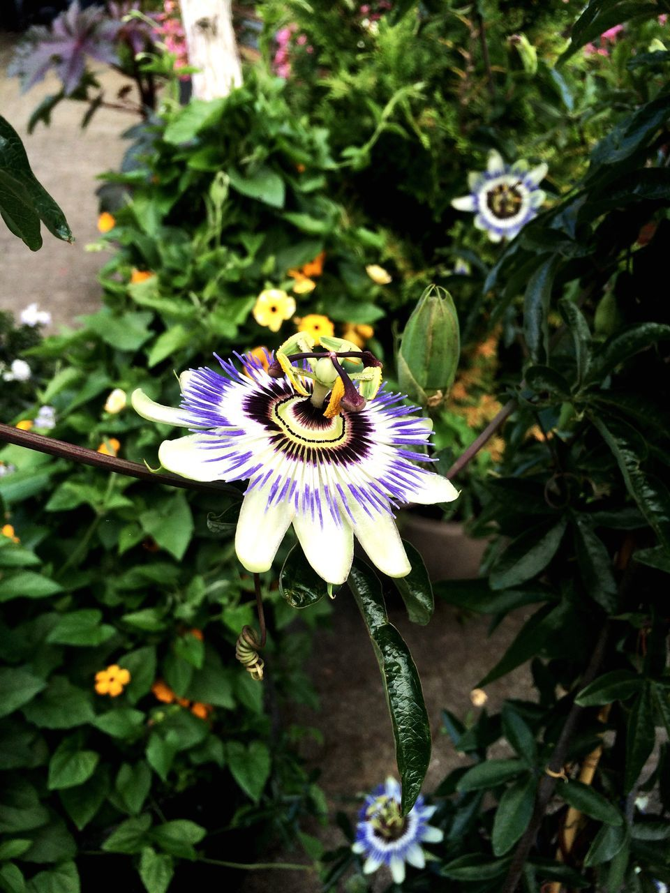 flower, petal, fragility, freshness, growth, beauty in nature, flower head, nature, high angle view, plant, day, passion flower, one animal, purple, pollen, no people, outdoors, animal themes, insect, animals in the wild, blooming, close-up, bee