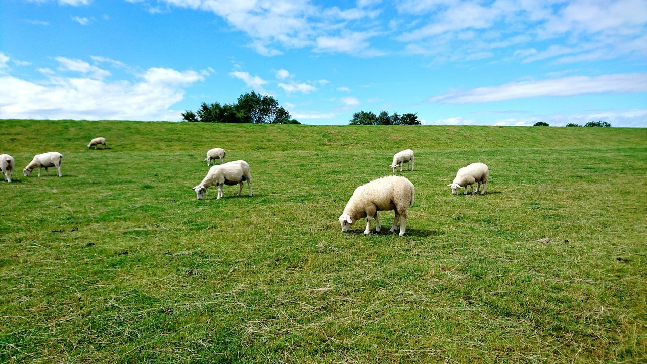 Sheep Livestock Domestic Animals Green Color Grass Grazing Flock Of Sheep Field Lamb Agriculture Outdoors Cloud - Sky Pasture Landscape Day Nature Sky No People Growth Mammal