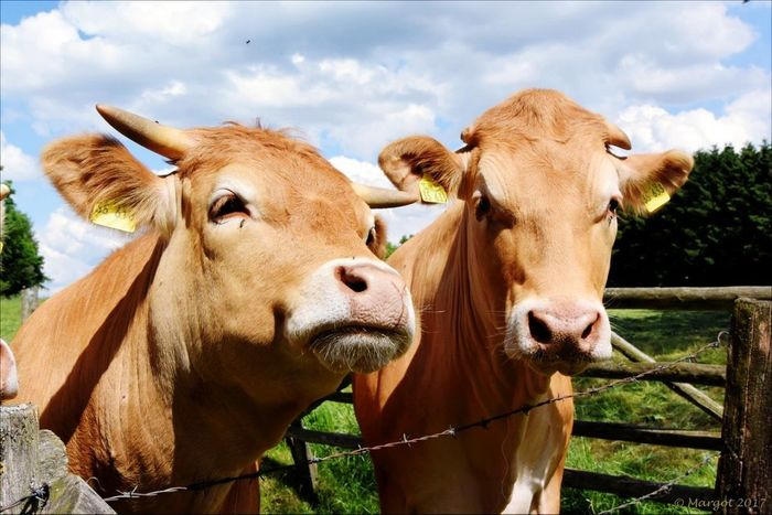 Koeien Domestic Animals Cow Outdoors Agriculture Close-up Animal Brown Cattle Looking At Camera Togetherness Animal Themes No People Outdoor Photography Sauerland Beauty In Nature