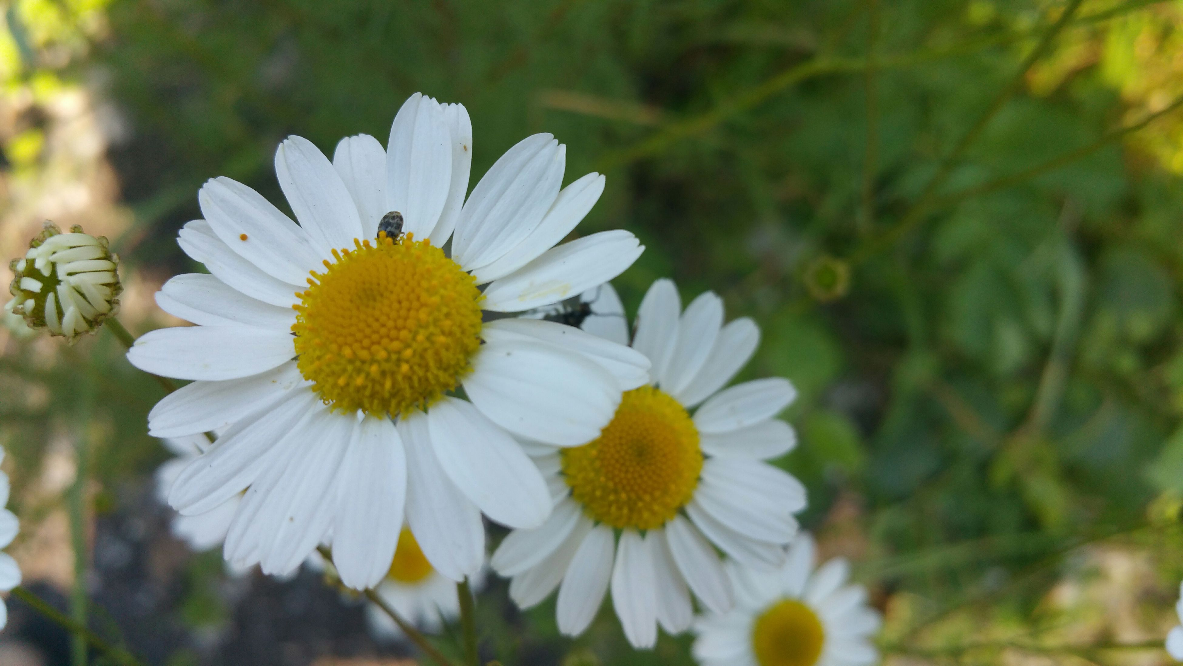 flower, petal, freshness, fragility, flower head, growth, focus on foreground, pollen, beauty in nature, blooming, white color, close-up, daisy, nature, yellow, plant, in bloom, outdoors, day, single flower