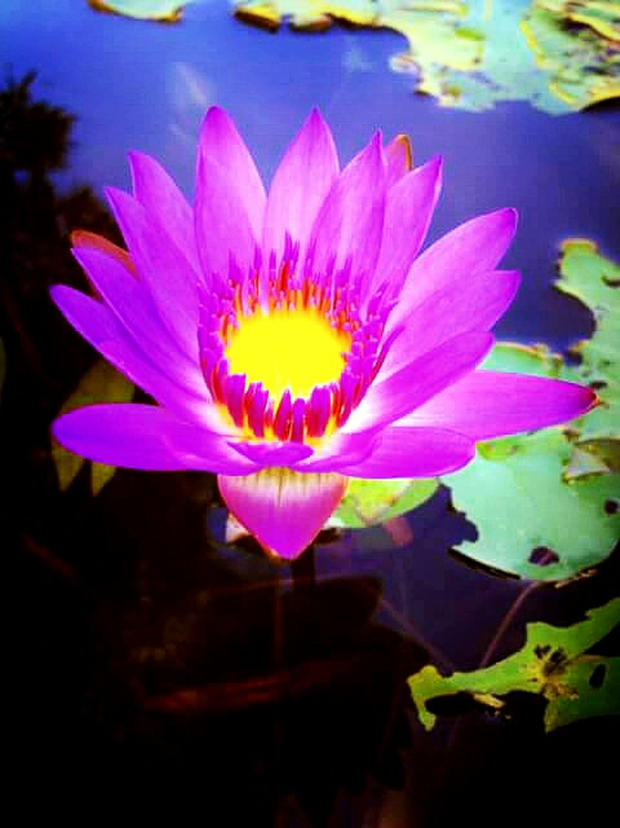 Lotus loves. 🌸 Flowers Pink Flower Naturelovers Flowerporn Flower Collection Nature_collection Eyeem Nice Shots