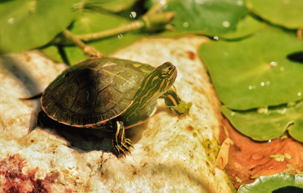 Turtle Lillypads Lillypond Ogden Nature Center