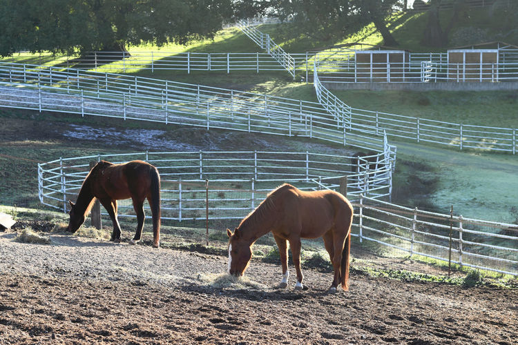 Horses in Morning Light Horses Livestock Ranch Animal Themes Day Domestic Animals Field Full Length Grazing Horse Landscape Livestock Mammal Nature No People Outdoors Tree