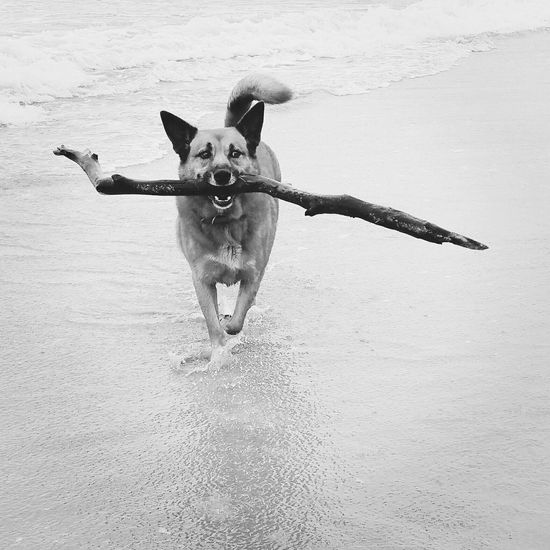 Dogslife Dog❤ Dog Dogs Dogs Of EyeEm Dog Love Doggie Playing Beach Life Sea Seaside Ocean Bay Pet Pets Water Domestic Animals Domestic Dog Cattledog Blackandwhite Photography Stick Fetch Fetching Red Heeler Sand Black And White Friday