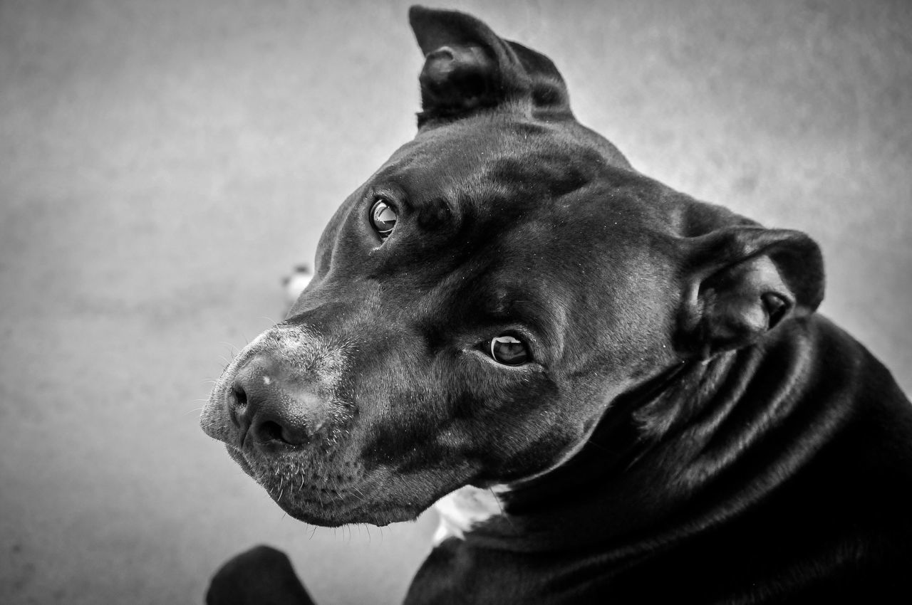 dog, pets, animal themes, domestic animals, mammal, one animal, close-up, no people, indoors, day
