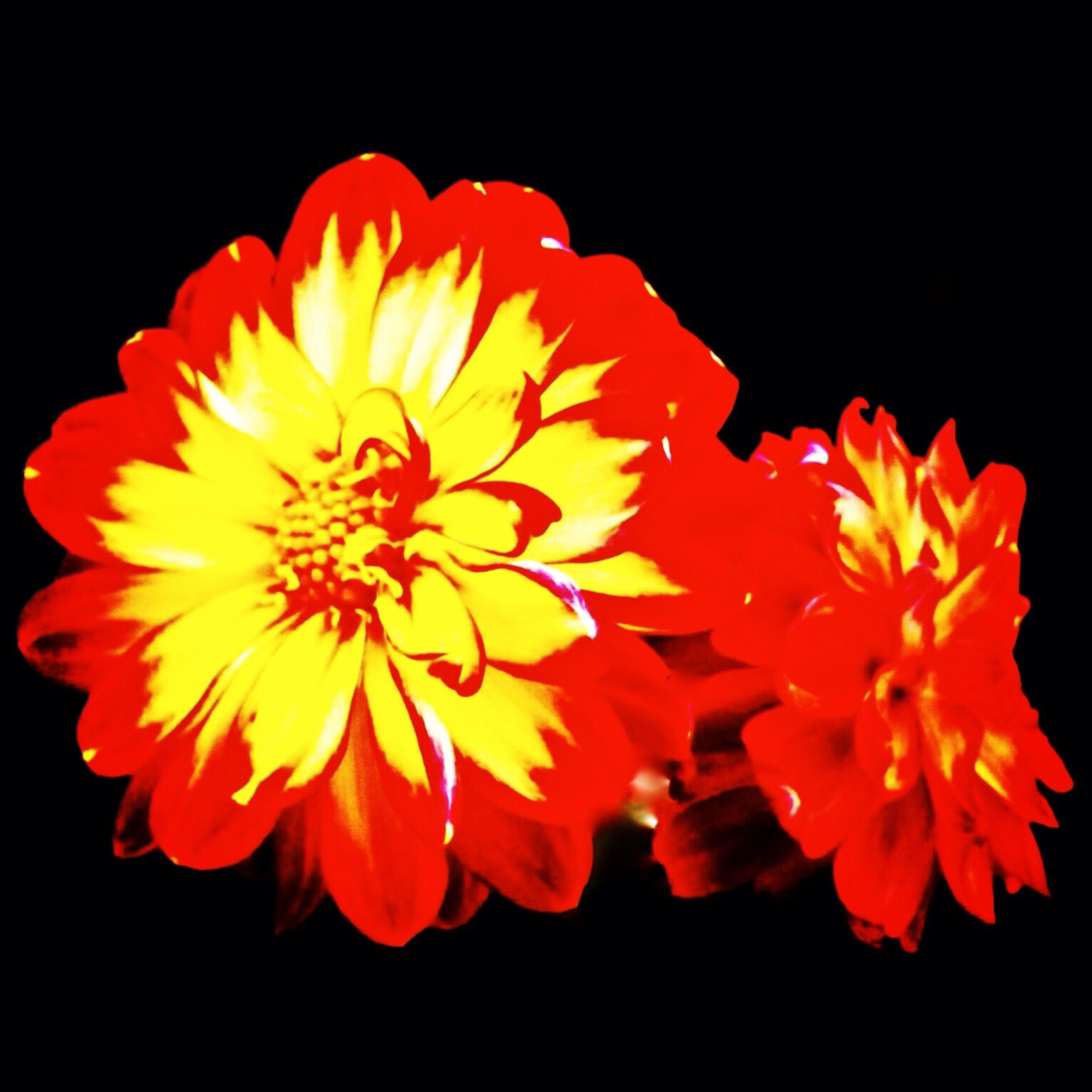 flower, petal, freshness, flower head, black background, fragility, studio shot, beauty in nature, orange color, close-up, nature, blooming, yellow, growth, pollen, red, single flower, copy space, in bloom, night