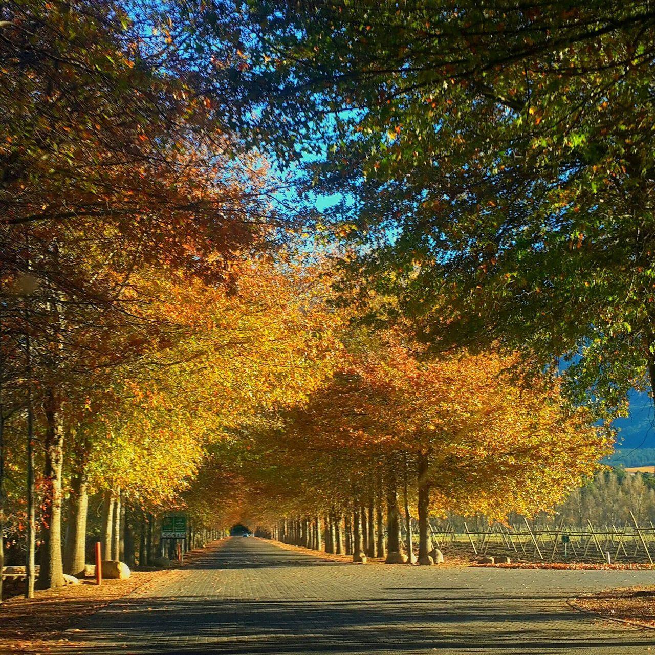 Treelined Alley In Autumn