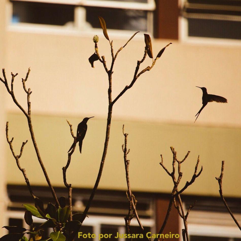 Beija-flor Humingbirds Bird Animal Themes Day Canon 70d 55-250mm Urbanphotography