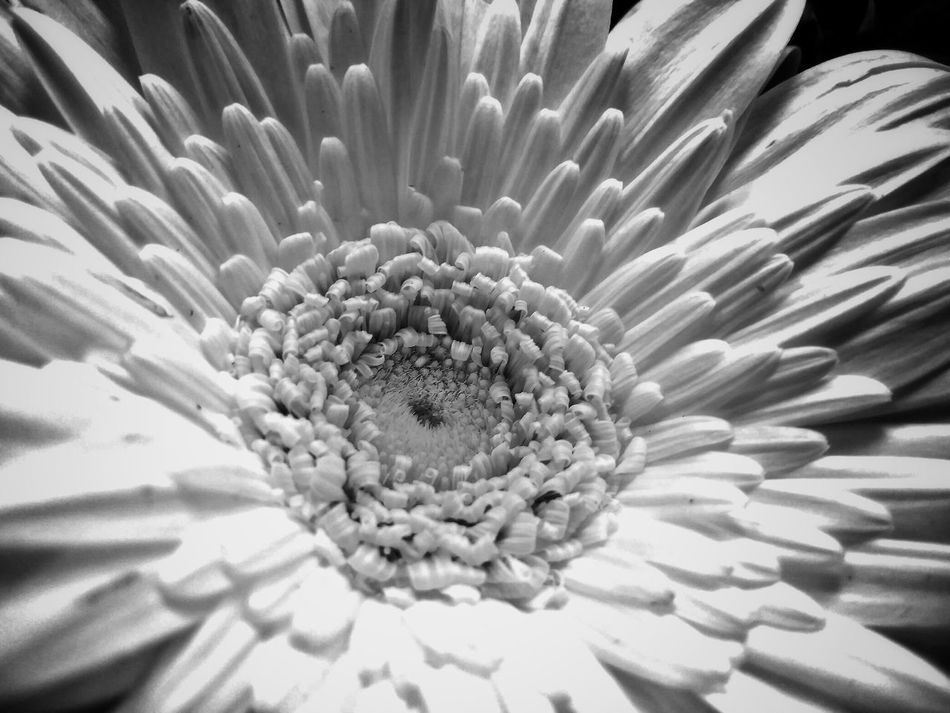 Beauty In Nature Black & White Blackandwhite Blooming Close-up Day Flower Flower Collection Flower Head Flowers Fragility Freshness Growth Lumicar Nature No People Outdoors Petal Pollen