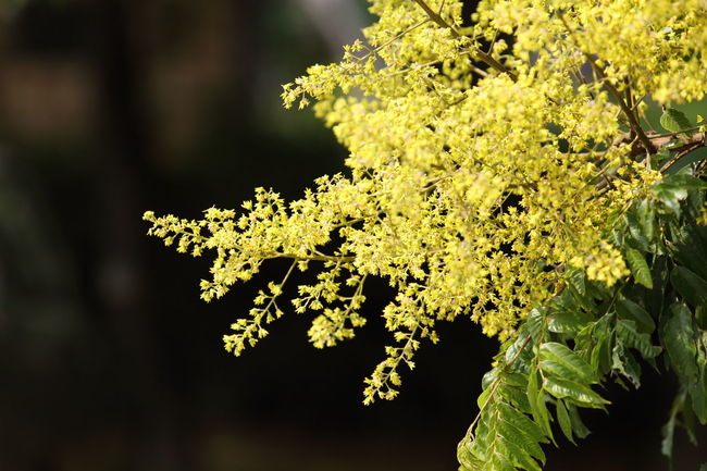 Beauty In Nature Branch Close-up Day Fall Fall Colors Flower Golden-rain Tree Growth Horizontal Nature No People Outdoors Yellow Yellow Flower Yellow Flowers