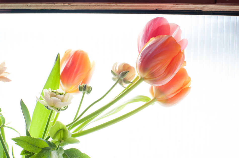 Beautiful stock photos of tulip, Durham, United States, beauty in nature, blooming