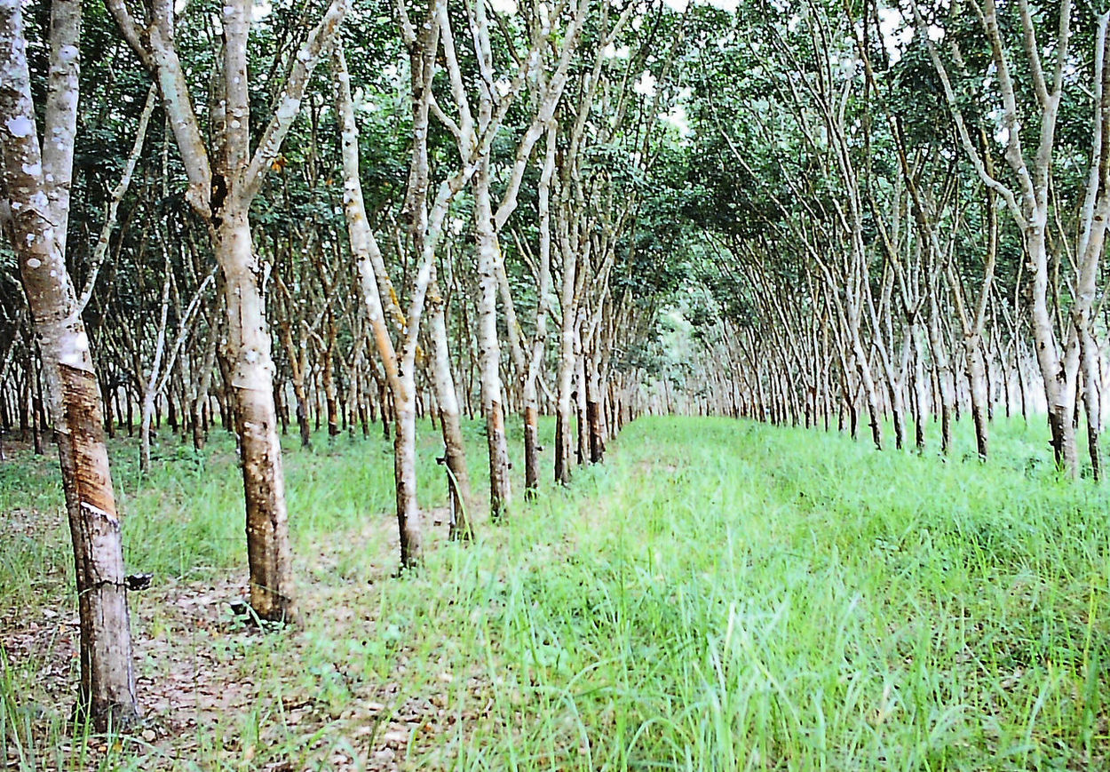 Rubber trees - near Bangkok, Thailand Rubber Plantation Bamboo - Plant Beauty In Nature Day Forest Grass Green Color Growth Landscape Nature No People Outdoors Rubber Trees Rural Scene Scenics Tranquil Scene Tranquility Tree Tree Trunk Perspectives On Nature
