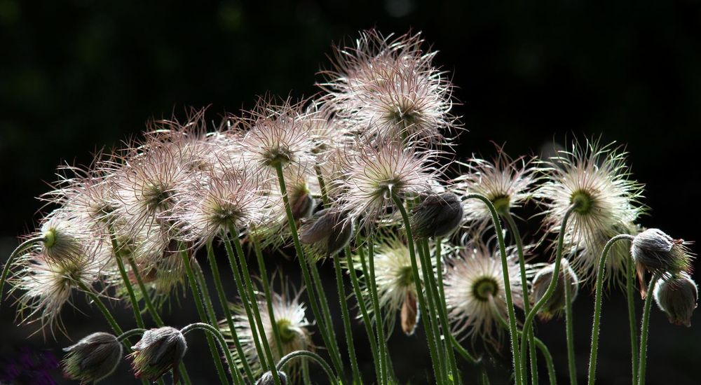 Backlit seedheads Pulsatilla Vulgaris RSPB Beauty In Nature Close-up Nature No People Pasque Flower Plant Saltholme Seedhead Seedheads