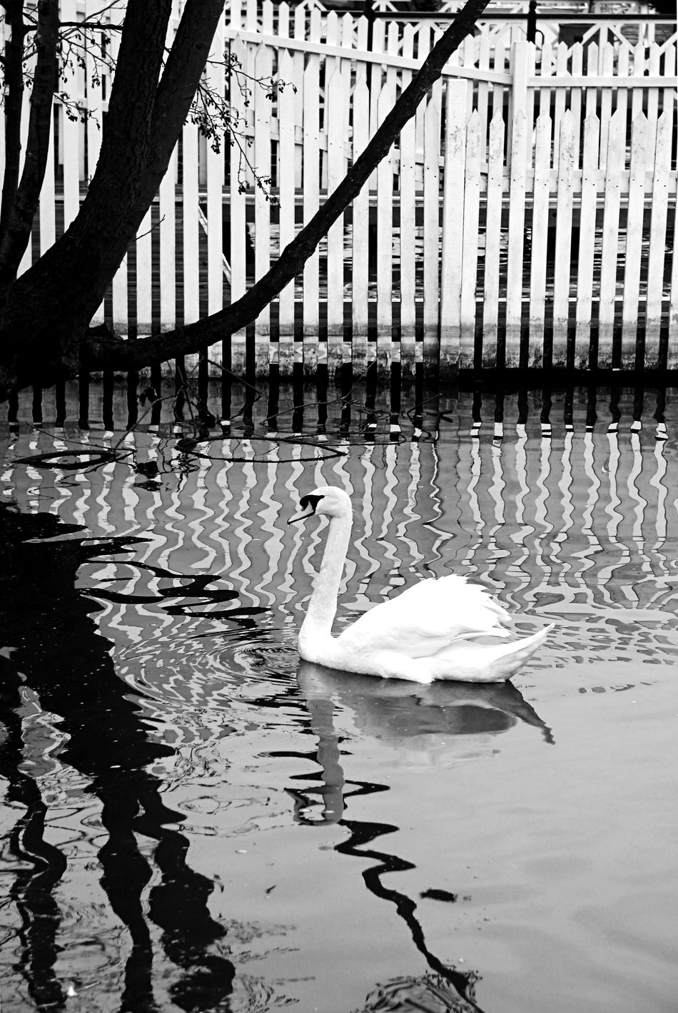 Animal Themes Black And White Fence Fowl Henley On Thames Nature Reflection River Thames River Thames Bank Single Animal Swan Treee U