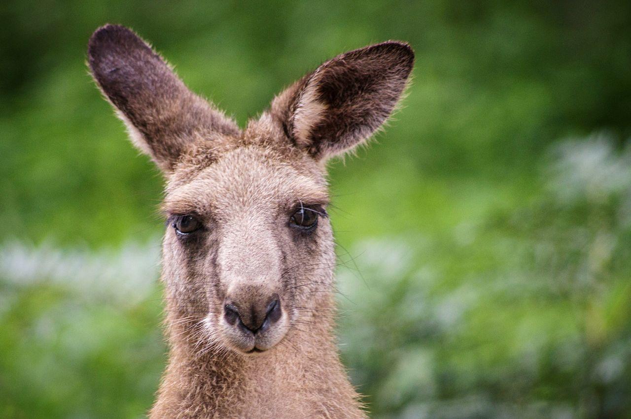 Beautiful stock photos of kangaroo, one animal, animals in the wild, focus on foreground, wildlife