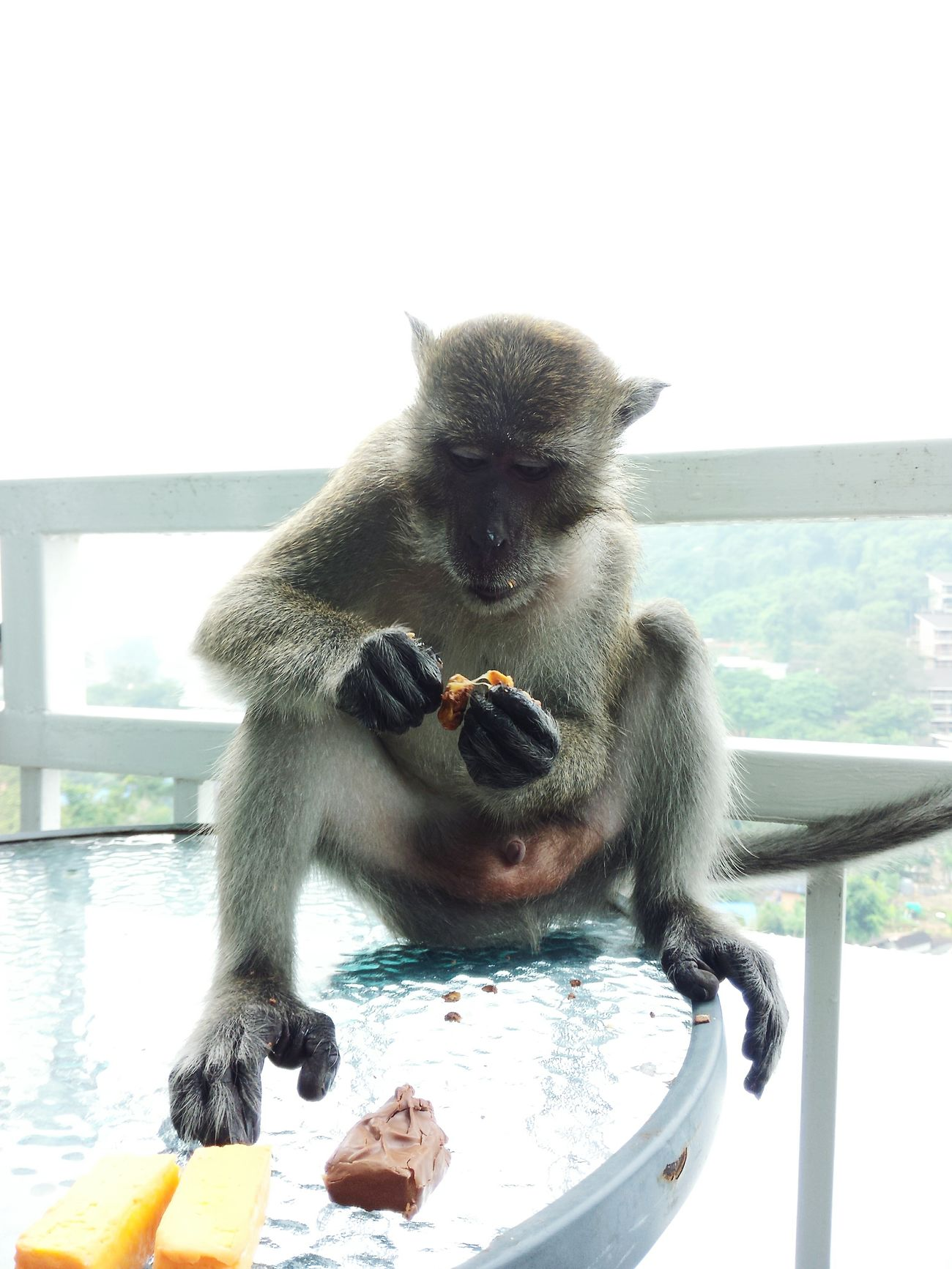 monkey steal food in my room and eating on my table!Monkey Stealing